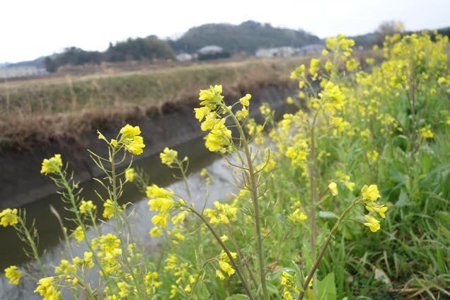 小川のほとりに咲く菜の花