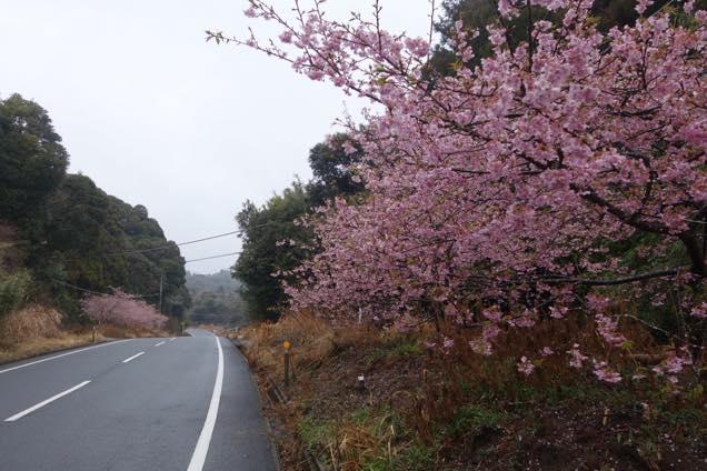 安房グリーンライン沿いに咲く河津桜