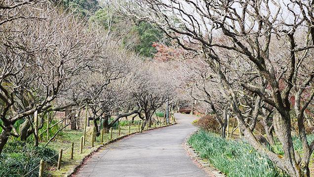 梅の木が両脇にずらっと立ち並ぶ園内の道