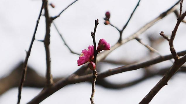 濃いピンク色が美しい梅の花