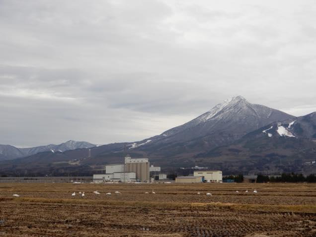磐梯山をバックに田んぼで休む白鳥