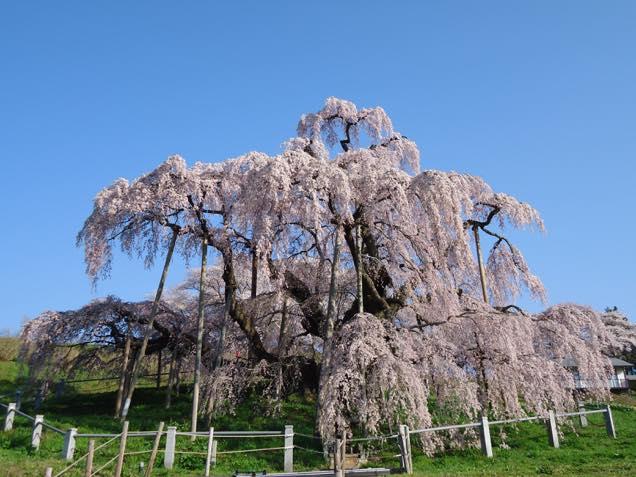 満開の滝桜