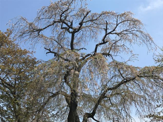 青柳の糸桜
