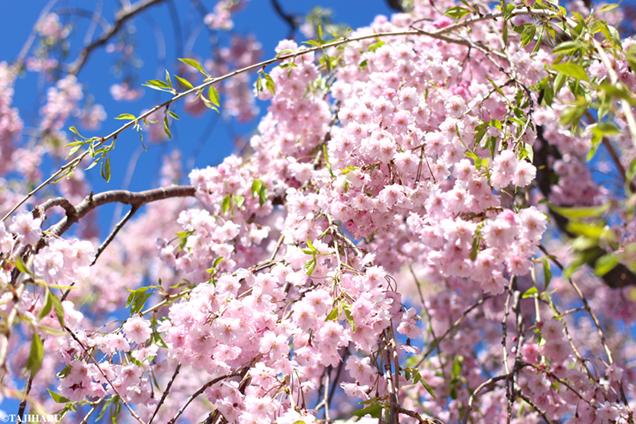 五稜郭公園 八重桜