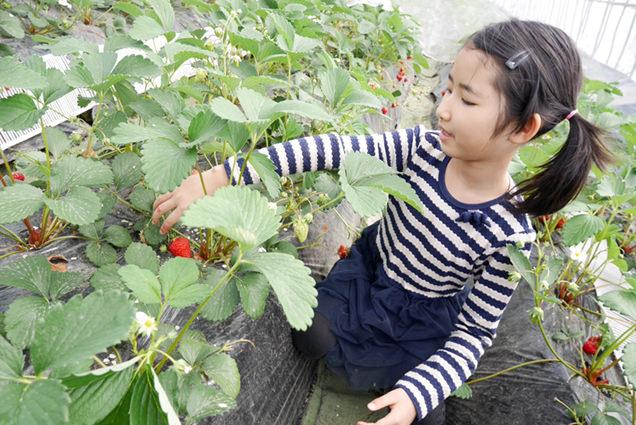 いちごを摘む長女