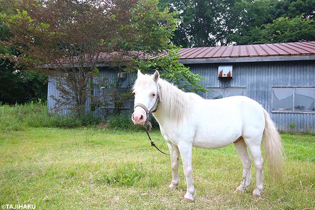 シャロレー牧場 白い馬