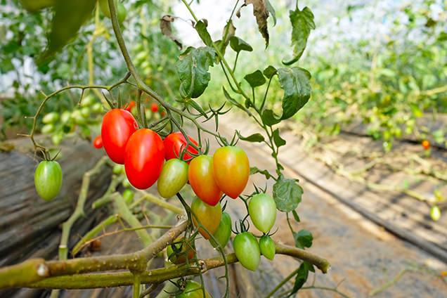 観音温泉 農場 収穫体験