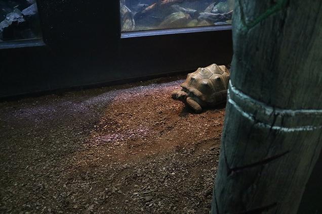 体感型動物園iZooのアルダブラゾウガメ