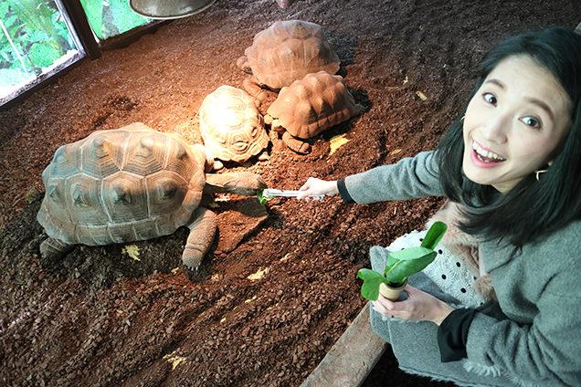 体感型動物園iZooのアルダブラゾウガメに餌やり