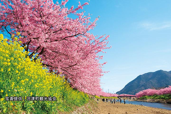 【伊豆・河津桜の旅】早咲きの桜の名所へ。ピンクの絶景は必見!
