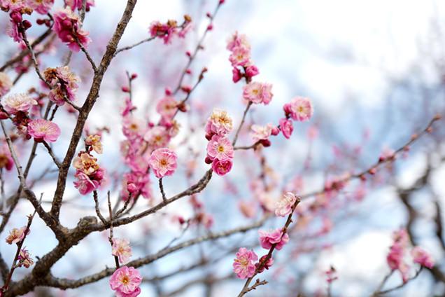 偕楽園 早咲きの梅
