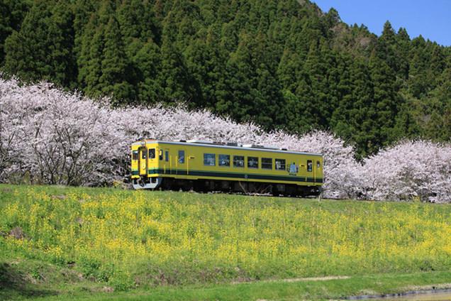 菜の花、桜、ムーミン列車