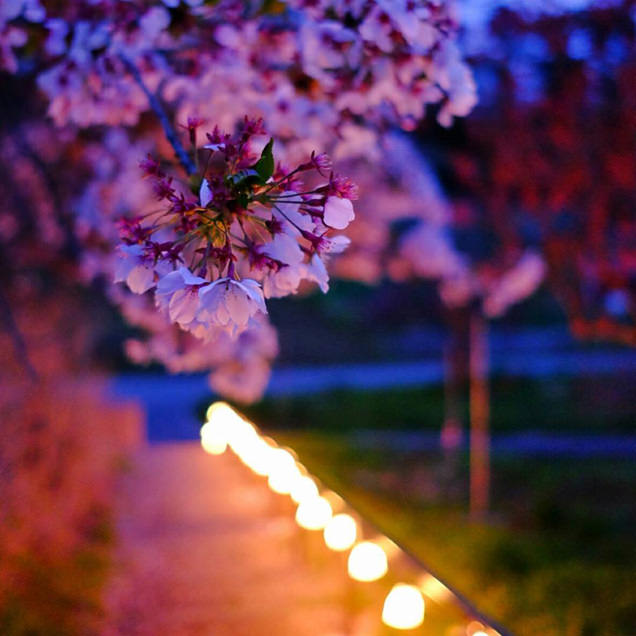 寒河江公園の桜
