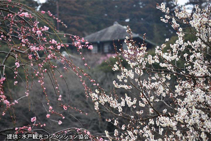 水戸偕楽園の梅まつり&真壁のひなまつりをハシゴ!春の茨城へ