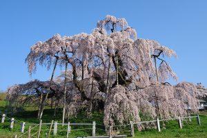 この春訪れたい!お花見スポットまとめ