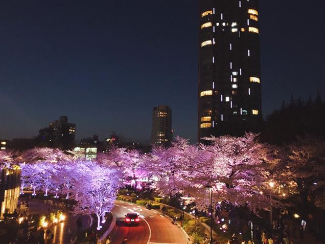 ミッドタウン・ガーデン さくら通り ライトアップされた桜