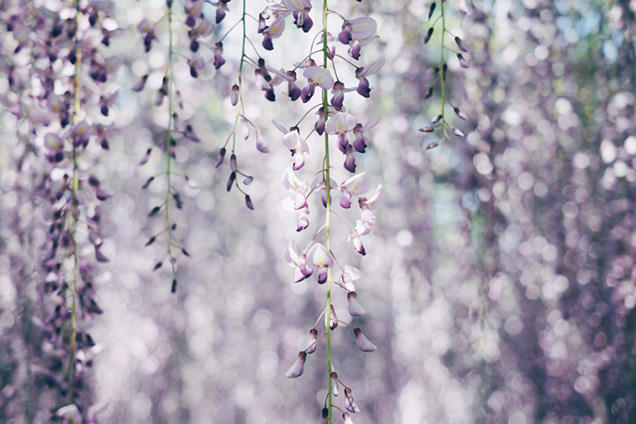 藤の花と玉ボケがとてもきれい