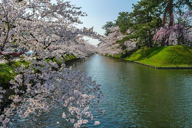 弘前公園 追手門口の外濠の桜