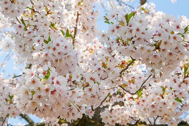 弘前公園 桜のアップ