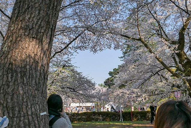 弘前公園 南内門周辺 ハート形の桜