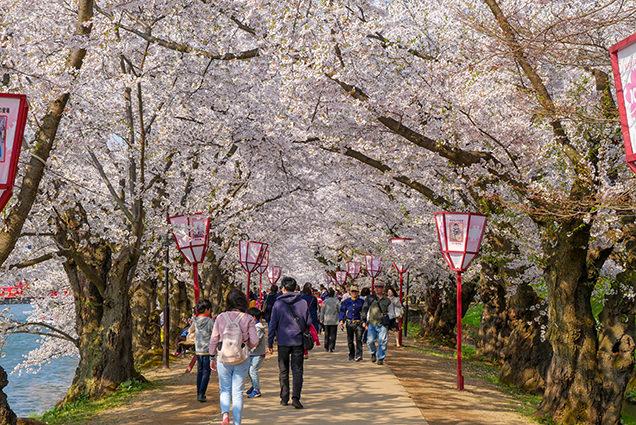 弘前公園 西濠の桜並木