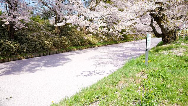 弘前公園 外濠の花筏