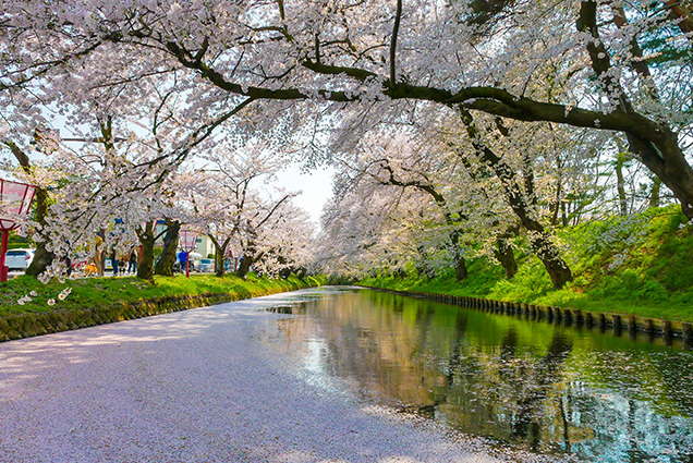 弘前公園 東門付近の花筏