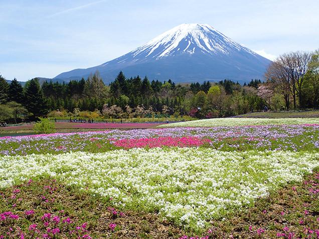 富士芝桜まつり 芝桜の逆さ富士