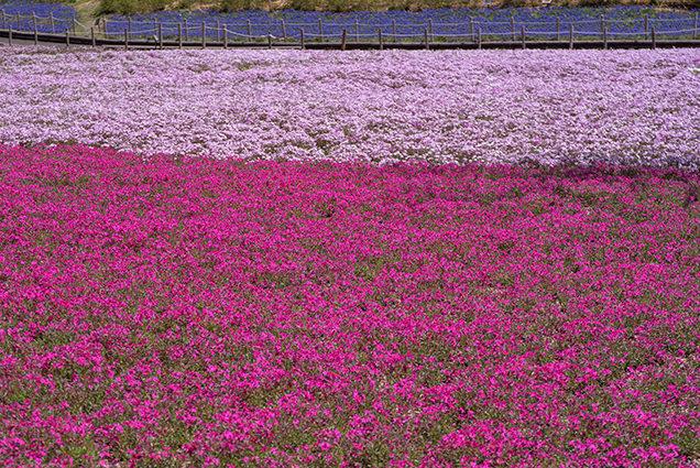 富士芝桜まつり 紅白ガーデン