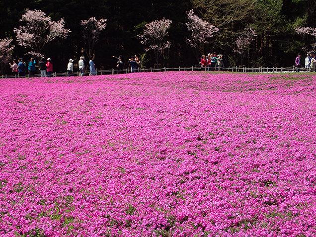 富士芝桜まつり ピンクの芝桜と桜の木