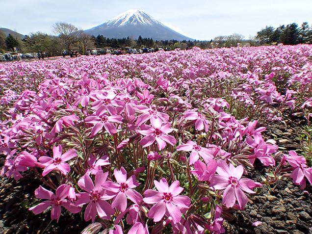 富士芝桜まつり オータムローズと富士山