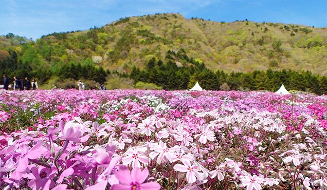 富士芝桜まつり 多摩の流れ