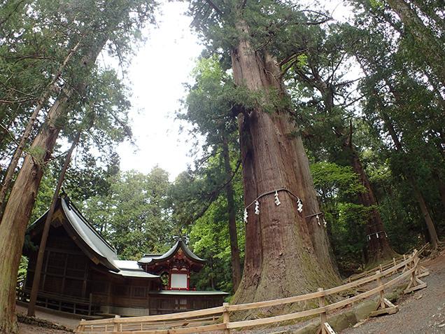 河口浅間神社 ご神木「七本杉」