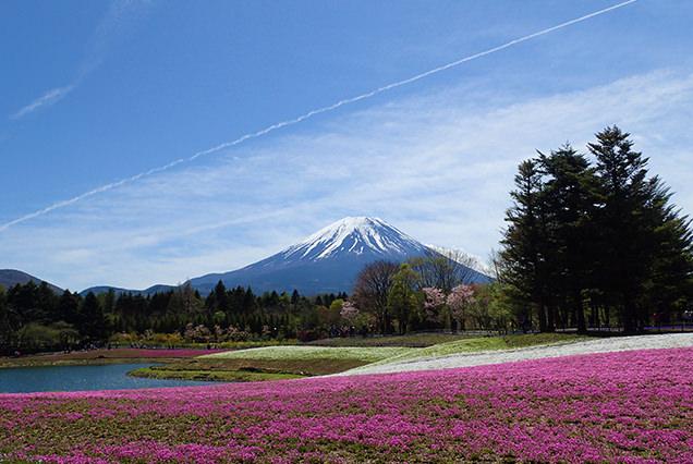 ピンクのじゅうたん&富士山が絶景すぎる!富士芝桜まつりへ