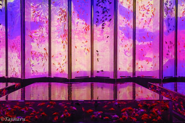 アートアクアリウム2018 「大政奉還金魚大屏風」
