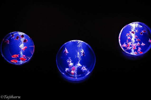 アートアクアリウム2018 水槽