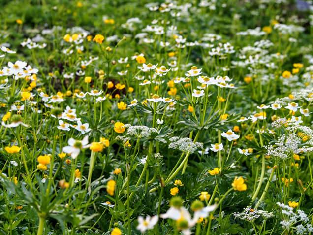 畳平周辺の高山植物