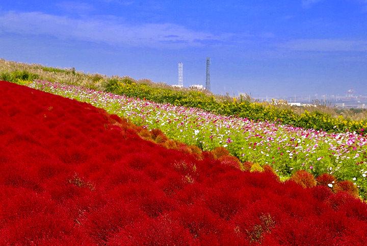 まるで外国みたい♪バラ、コスモス…関東・秋の花名所5選