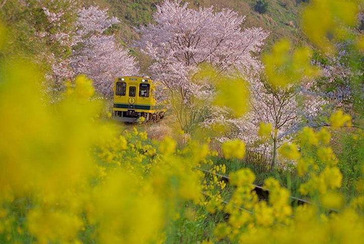 桜と菜の花のコラボは必見!列車でアクセスしやすい関東の花名所5選