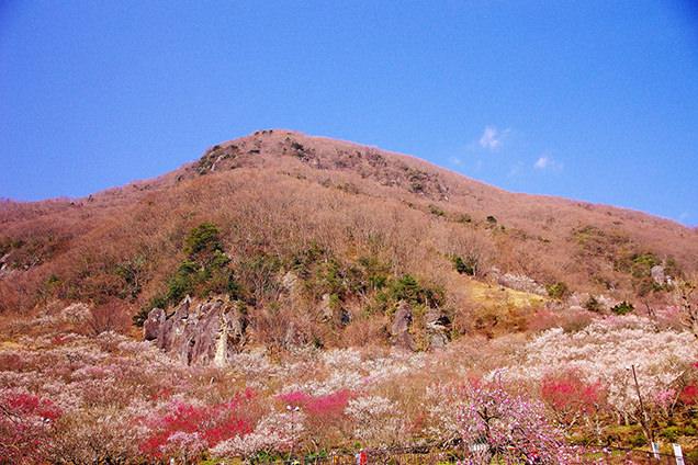 梅で知られる幕山の山容。花に囲まれた幕のような岩が山名の由来のイメージ