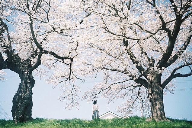白石川河川敷からの桜