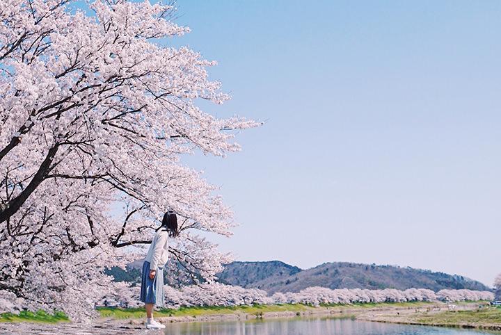 【東北の桜】一度は見てみたい!白石川堤一目千本桜の絶景に酔いしれる