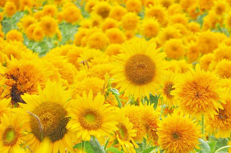 夏に行きたい関東の花畑5選。ひまわりやラベンダーの絨毯は必見