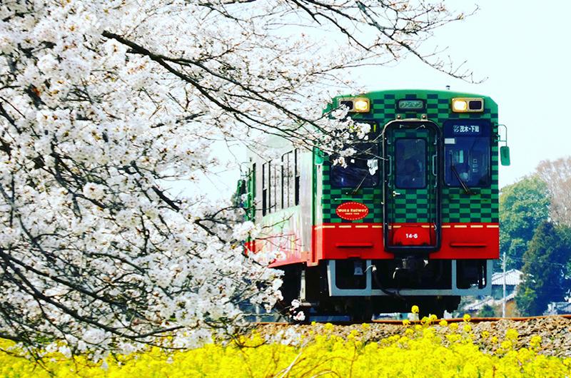 【桜&菜の花のコラボ】列車でアクセスしやすい、関東の花名所5選