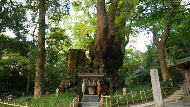 樹齢2000年以上の大楠