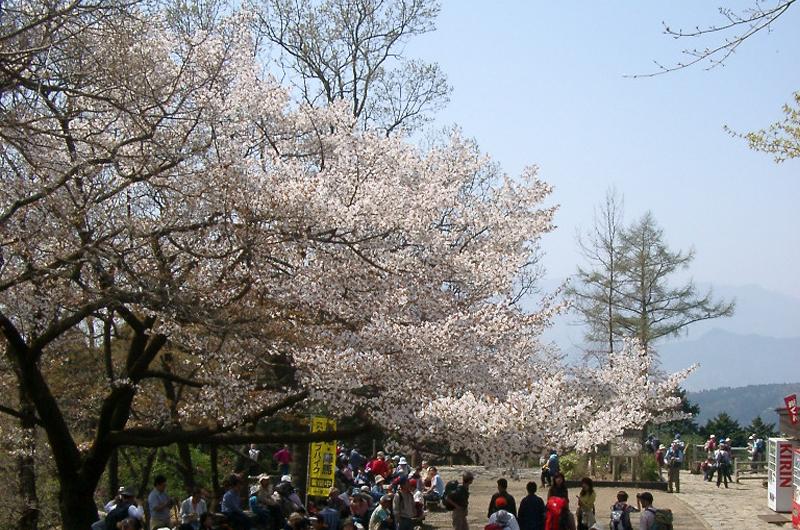 高尾山の頂上桜