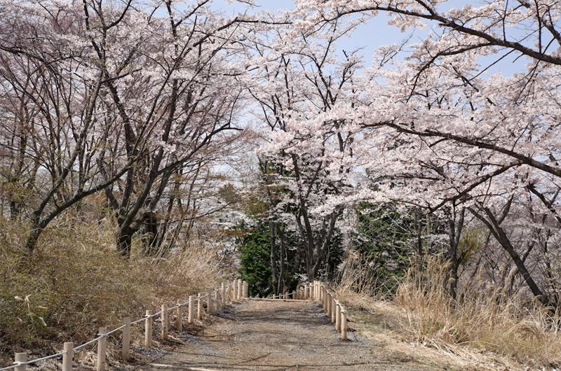 高尾山 桜のプロムナード