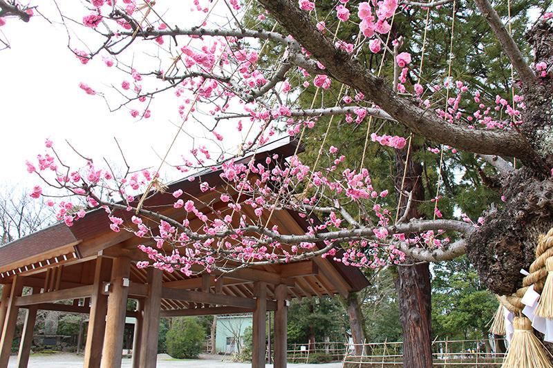 越中国一宮射水神社 紅梅