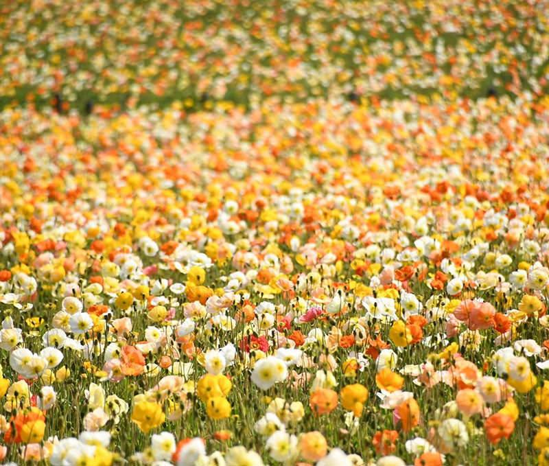 色とりどりのポピー畑