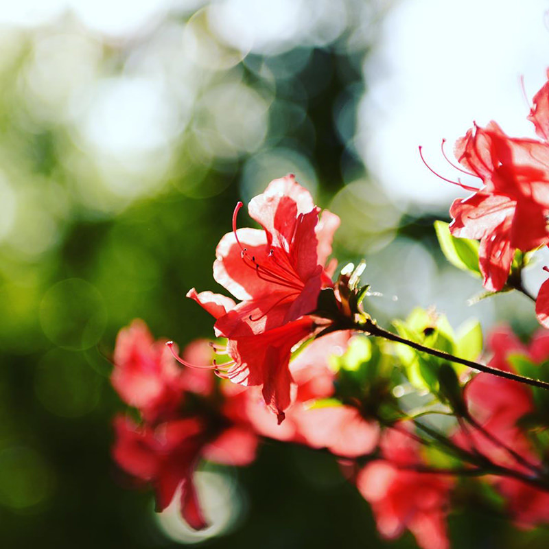 真っ赤に色づいたつつじの花